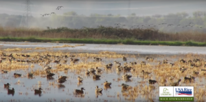 ducks in wetlands sustainable farming practices